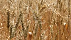 Кризис в Украине подтолкнул вверх цены на золото и пшеницу