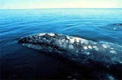 Экологи впервые заметили редчайшего серого кита у берегов Сахалина