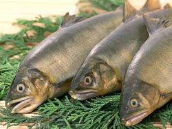 Рыба и молочка из Беларуси попали под пристальный контроль регуляторов РФ