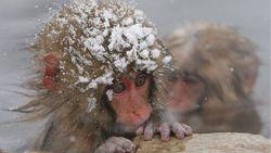 В Японии 57 макак были умерщвлены из-за «чужеродного агрессивного гена»