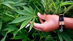 Экс-кандидат в президенты Кыргызстана предложил легализовать марихуану