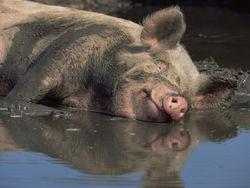 Цены на фьючерс свинины на бирже продолжат рост - трейдеры