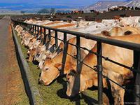 Эксперты назвали тенденции рынка крупного рогатого скота США