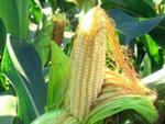Кукуруза: ожидается сезонное снижение цен