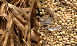 Цена на сою находится под давлением нового урожая