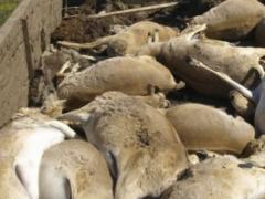 В Казахстане нашли убитых сайгаков