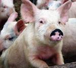 Инвесторам: на рынке свинины ожидается флет