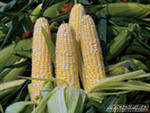 Рынок кукурузы будет находиться во флете