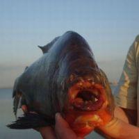 Пиранья на реке под Ростовом-на-Дону искусала рыбака