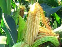 Рынок кукурузы демонстрирует разнонаправленную динамику