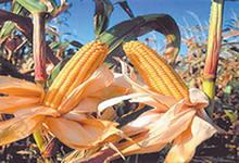 Эксперты: цены на кукурузу опять упали до 6-месячного минимума