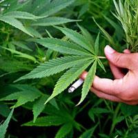 Аргентина за легализацию марихуаны
