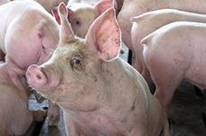 Трейдерам: цена на рынке свинины США показывает рост