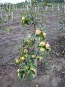 Плодовые и ягодные деревья сажаем