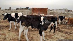 30 человек в Узбекистане заразились бруцеллезом