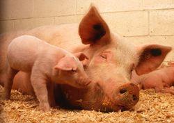 Отчеты USDA: трейдеры прогнозируют снижения цен на фьючерс свинины