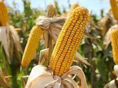 Инвесторам: рынок кукурузы подвержен сезонным тенденциям