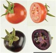 Выведенный учеными фиолетовый помидор намного полезнее и выгоднее