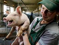 Рынок свинины США продолжает умеренный рост