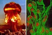Медики: Из-за ядерных испытаний в человеческом мозгу появились новые клетки