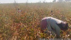 Школьников Кашкадарьи Узбекистана вернули с хлопковых полей в школу