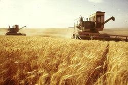 В Украине собрали рекордный урожай озимой пшениц