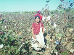МОТ и Cotton Campaign озабочены действиями властей Узбекистана - СМИ