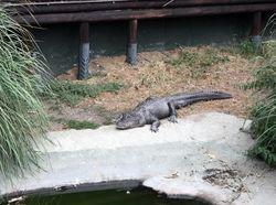 Двухметровый крокодил упорно пытался зайти в супермаркет во Флориде