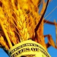 В России дорожает пшеница, на очереди молоко и мясо