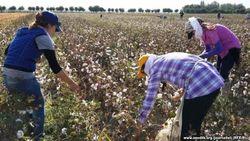 Для своевременной оплаты труда сборщиков хлопка в Узбекистане не хватает наличных денег