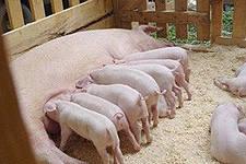 Рынок свинины интереса для опционной торговли не представляет