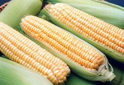 Цена на фьючерс кукурузы на бирже снизилась до минимальной отметки - трейдеры