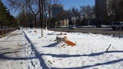 Узбекистан: в Ташкенте начата компания по вырубке чинар
