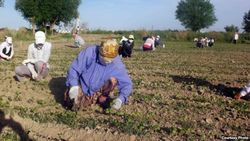 В Узбекистане снова учителей погнали на сельхозработы