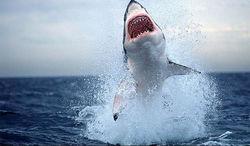 В Австралии убийцу акулы-людоеда оштрафовали на 18 тысяч долларов