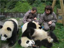 Численность больших панд в заповедниках Китая удвоилась за 10 лет