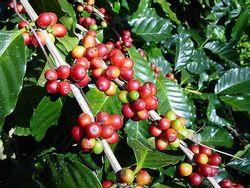 Мировой рынок кофе: трейдеры прогнозирую спад
