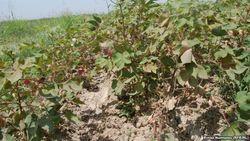 В Кашкадарьинской области Узбекистана тысячи гектаров хлопчатника увядают без воды
