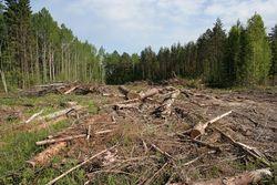 Россия стала мировым лидером по вырубке лесов