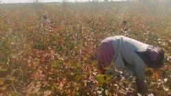 В Узбекистане на хлопок отправляют и несовершеннолетних