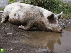 Украина сказала «Стоп!» свиньям из России