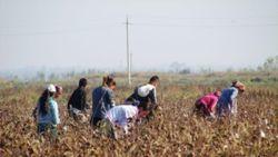 Группа мониторинга определила только 8 случаев принуждения детей к сбору хлопка в Узбекистане