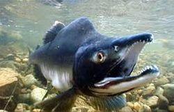 Горбуша - тихоокеанский лосось