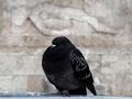 В Женеве запретят кормить голубей