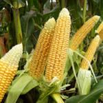 Цены на кукурузу растут из-за слухов о низкой урожайности