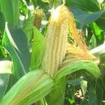 Инвесторы в ожидании новых движений на рынке кукурузы