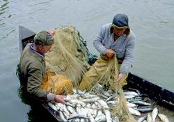 В Украине 70 видов рыбы на грани исчезновения