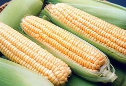 Цена на фьючерс кукурузы на бирже снова обновила минимум - трейдеры