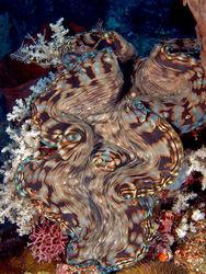 Изучаем природу: Обнаружен новый вид гигантских моллюсков