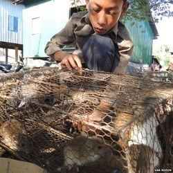 На мясо экологически чистых крыс из Камбоджи растет спрос за границей – ВВС